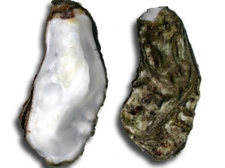 Imagem da notícia: Pérola rara encontrada numa ostra comum